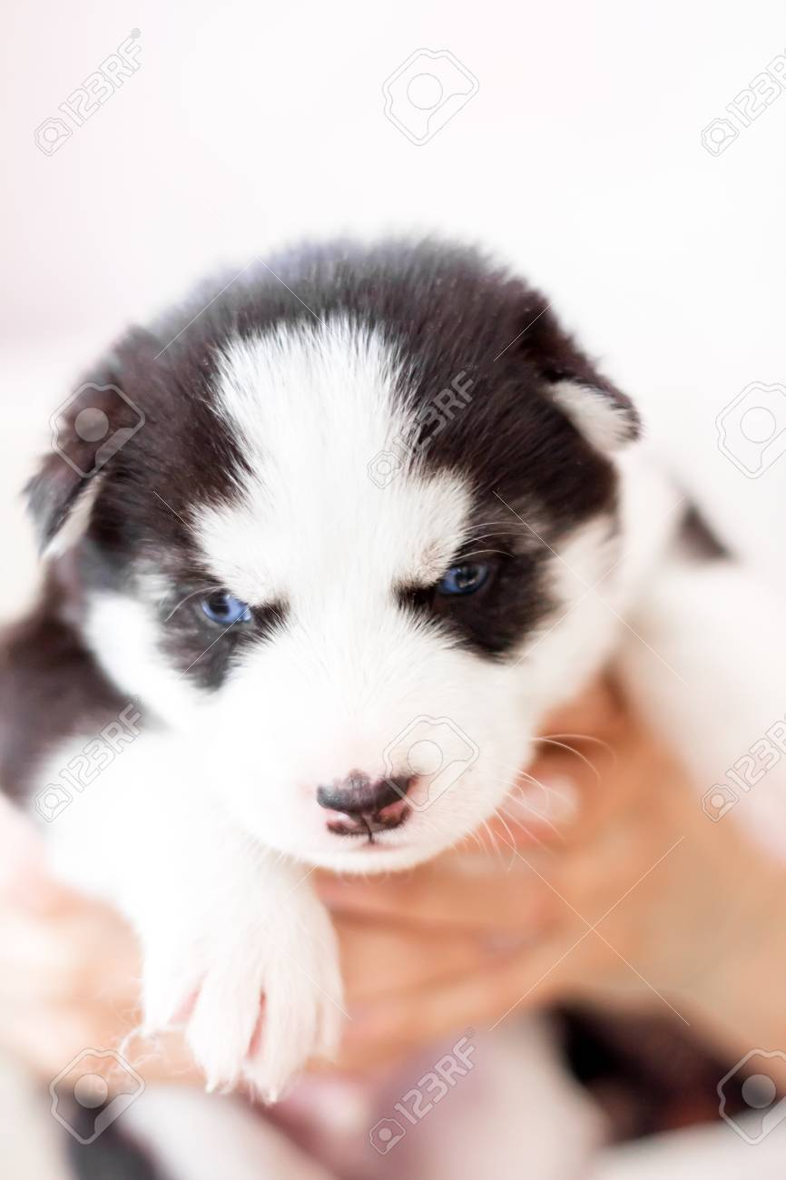 Cute Siberian Husky Puppy Black And White In Hands With Blue Stock Photo Picture And Royalty Free Image Image 96689874