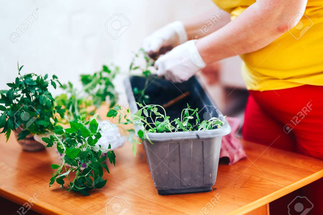 tomatoes seedlings at hands in gloves keep sprout is going o plant into plastic pot, transportayion before olant in ground outdoor. selected focus - 122264129