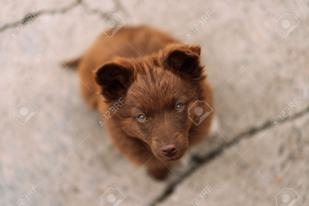 Brown-colored puppy with green eyes sits and looks at the camera. Pet love concept. - 169602947