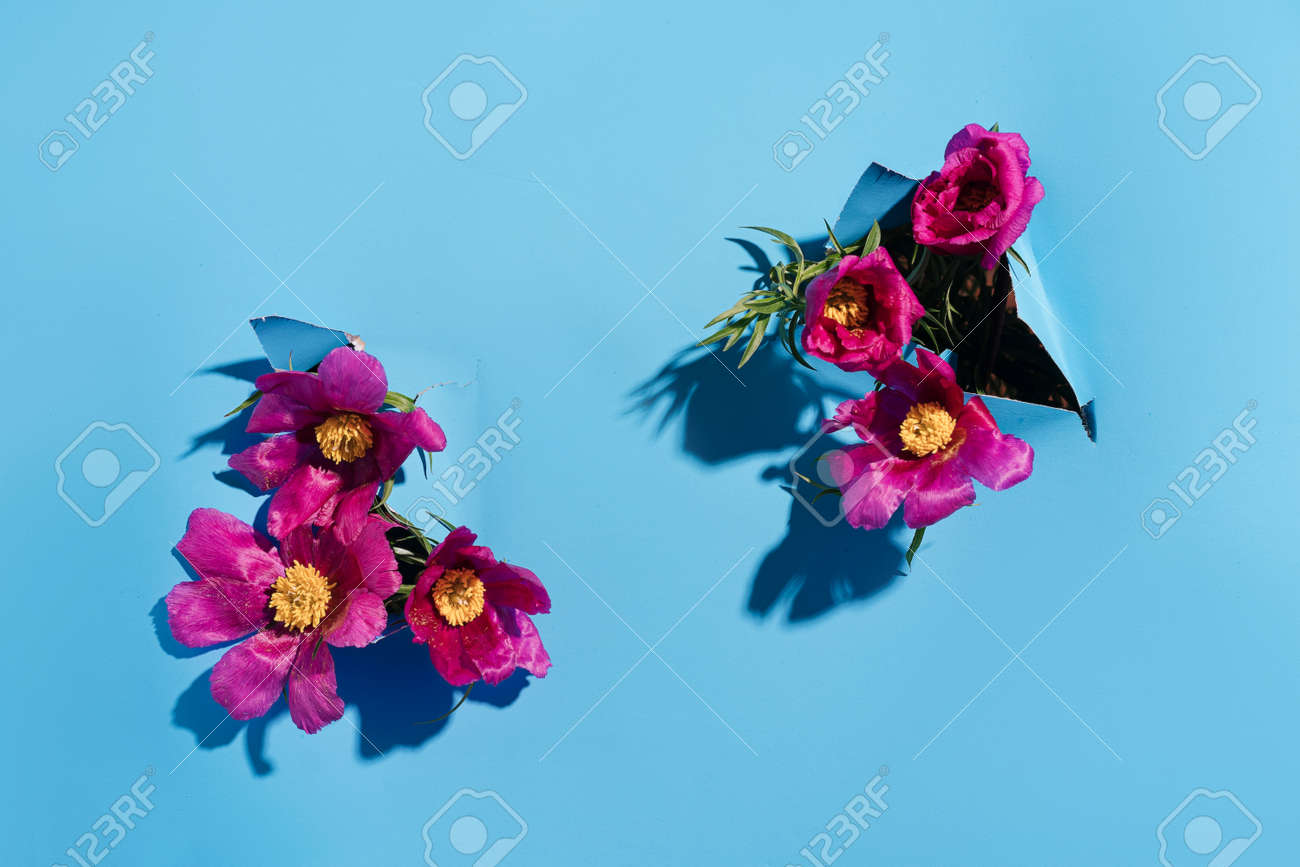 Pink Peony evading in holes in paper on blue background. - 169694080