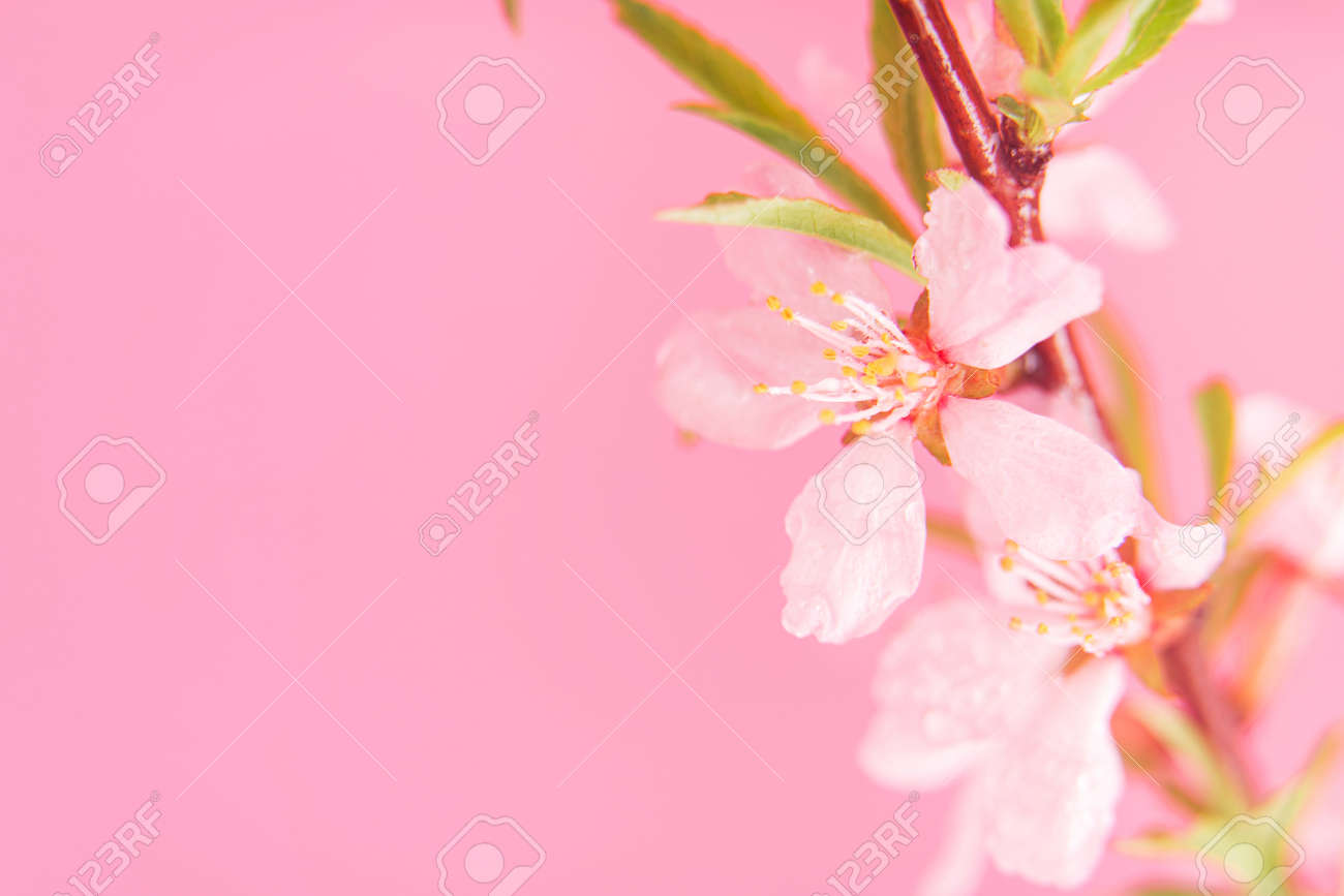 Close up photo of Wild Pink almond bloom on pink background. Spring time. - 169694081