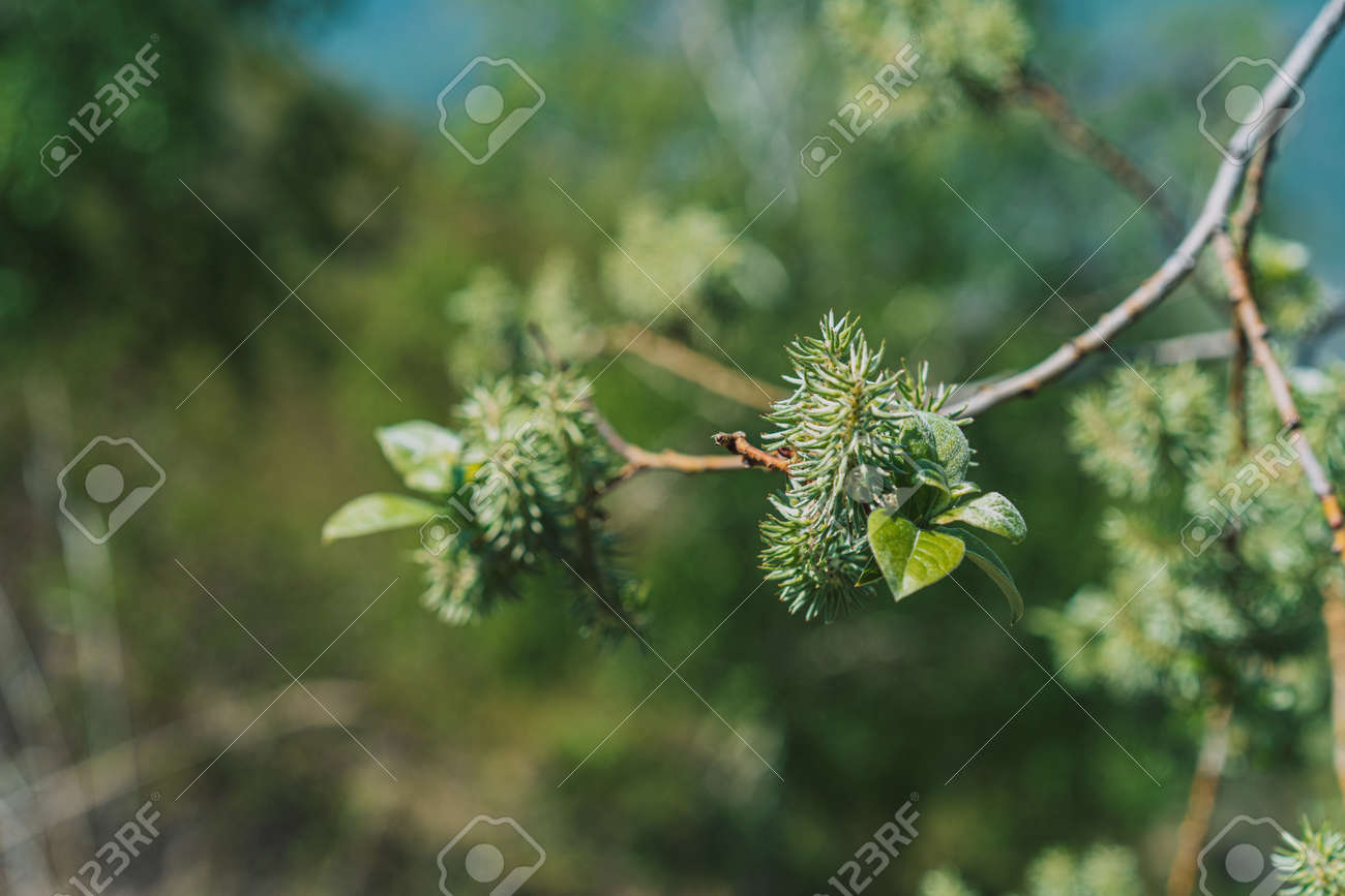 Branches with willow leaves close-up. Spring time concept. - 169694329