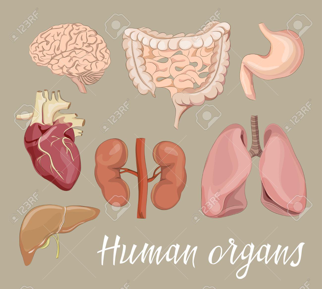 Diferentes órganos Humanos Establecidos Con Los Intestinos Del ...
