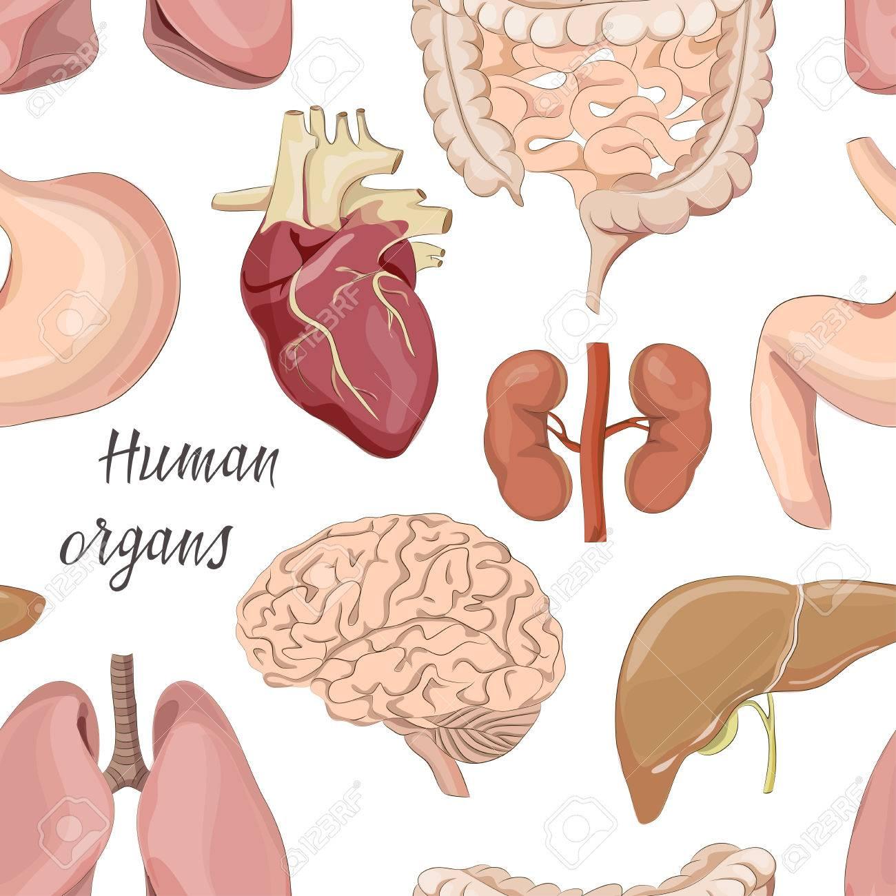 Diferentes órganos Humanos Modelo Determinado Con Intestinos ...
