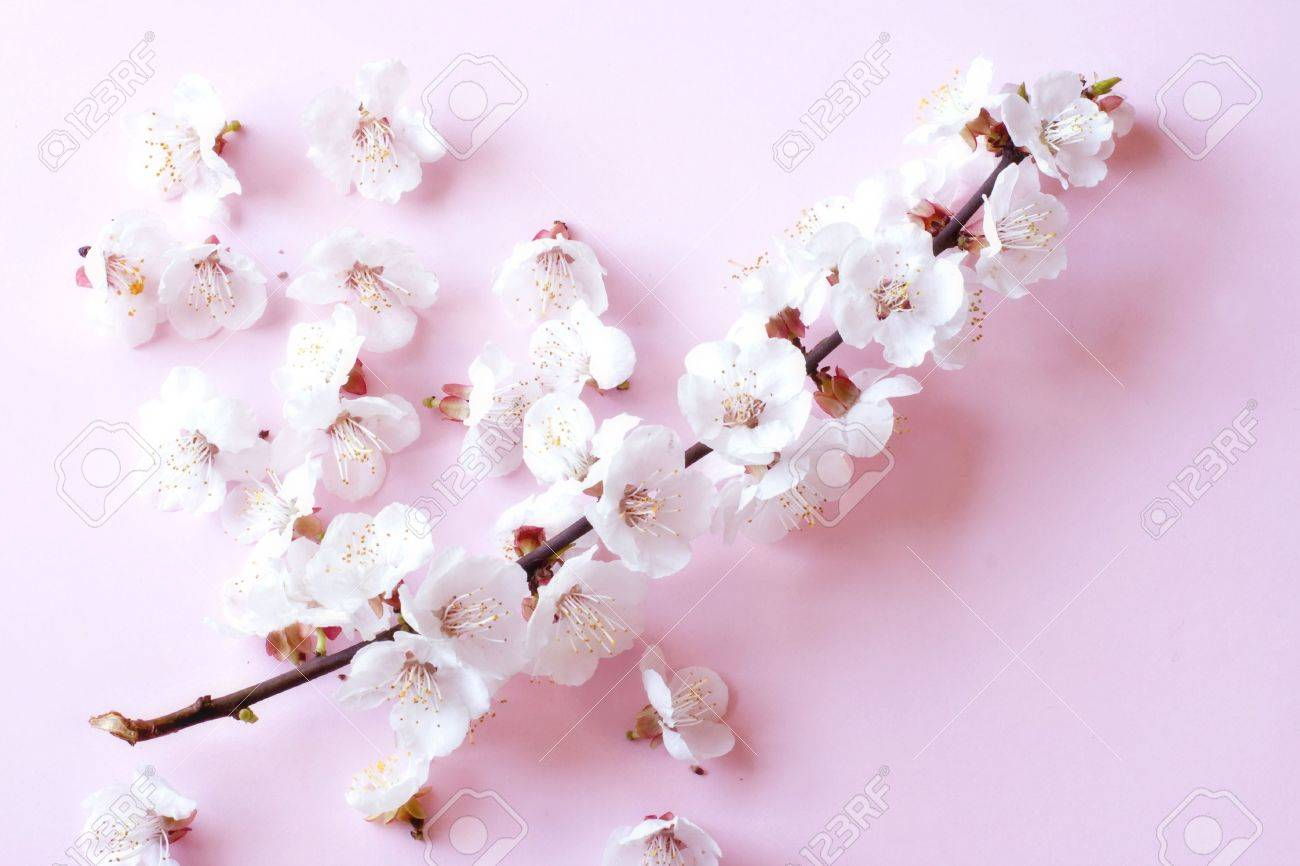 Cherry tree flowers in soft focus Stock Photo - 4721639