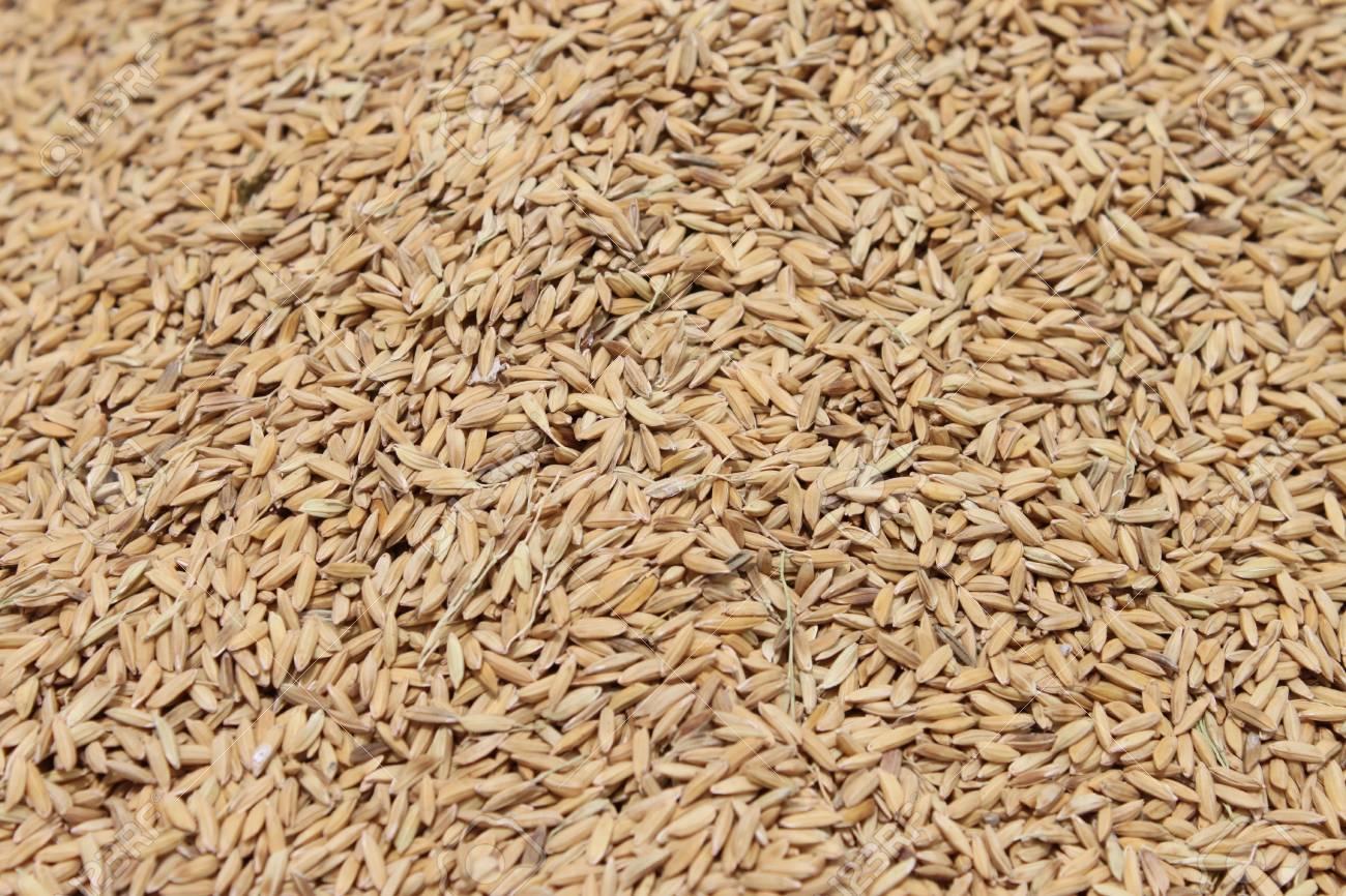rice grain under sunlight, Hue, Vietnam Stock Photo - 7715011