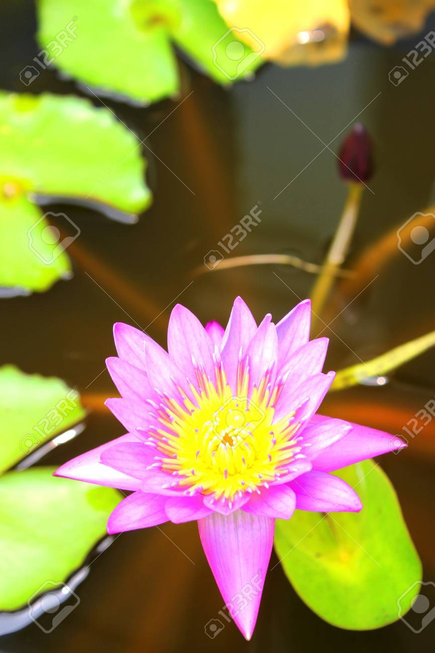 Water lotus lily Stock Photo - 9270205