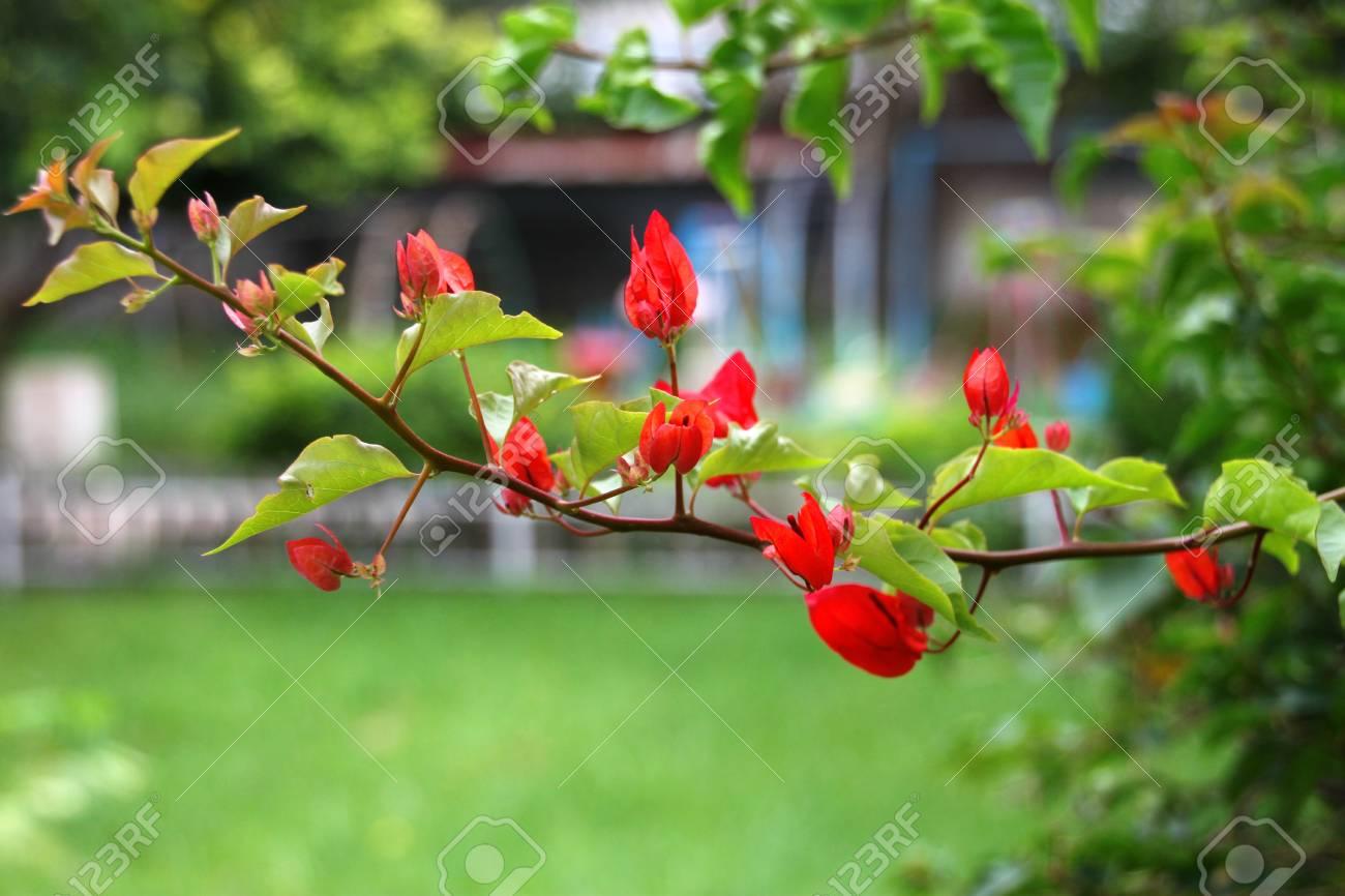 Bougainvillea flowers Stock Photo - 10024636