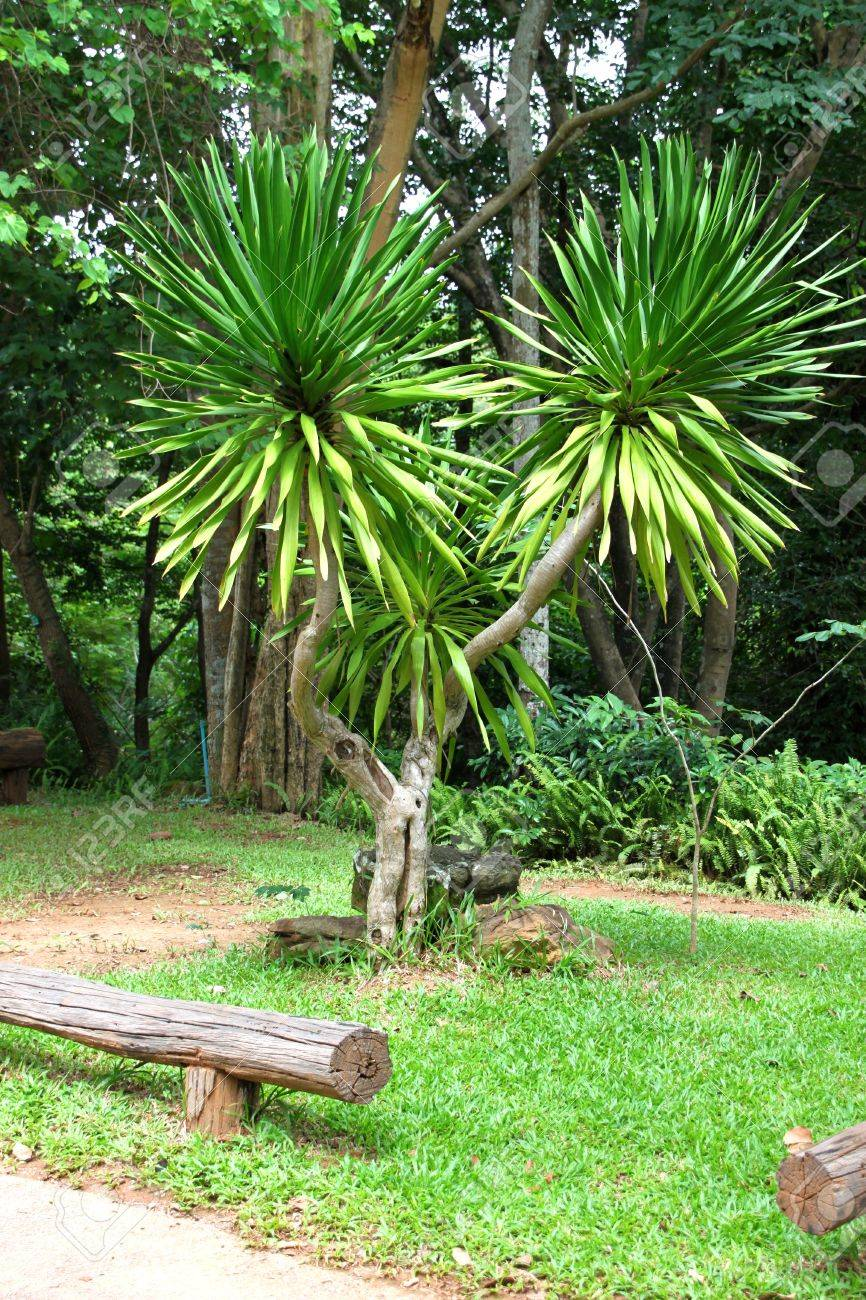 jan pha, a kind of tree grown in the tropical forest, in garden