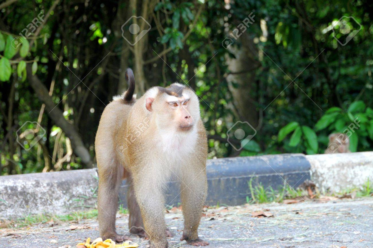 Long-tailed Macaque or crab-eating monkey in tropical rain forest of Khao Yai, Pak Chong, Korat, Thailand. Stock Photo - 15813126
