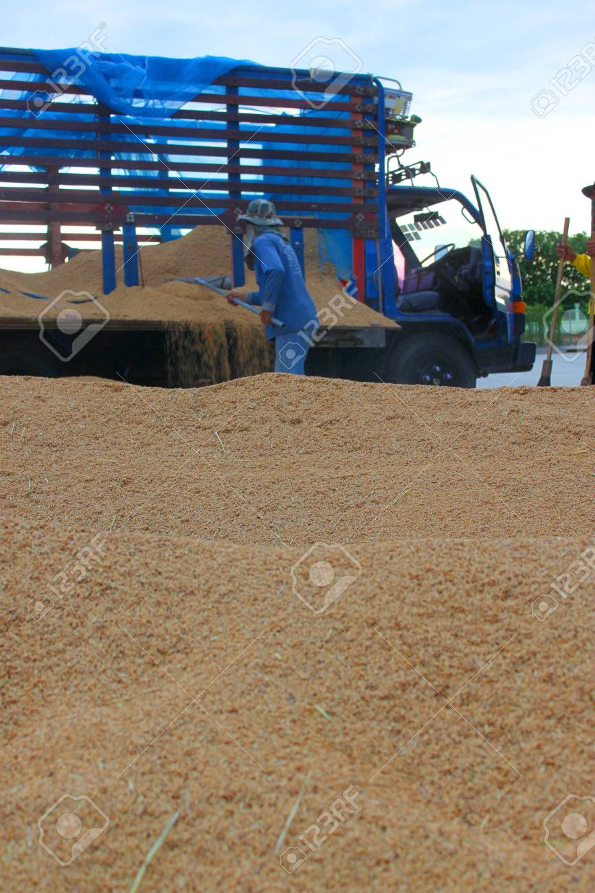 MUANG, MAHASARAKHAM - NOVEMBER 19 : Unidentified farmers are bringing ton of paddy to sell in rice commercial public project on November 19, 2012 at Agricultural Cooperative, Muang, Mahasarakham, Thailand. Stock Photo - 16497100