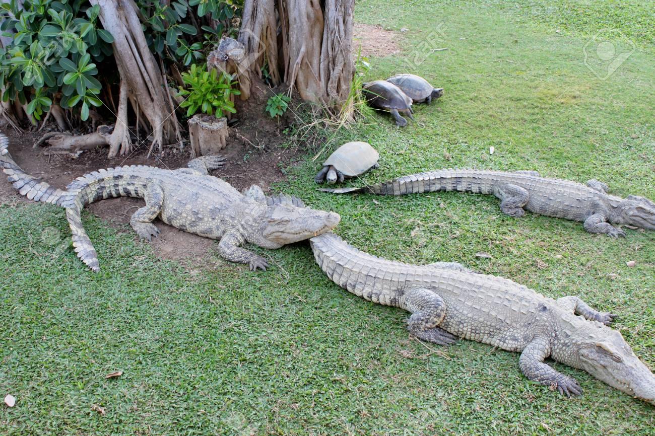 Crocodiles and turtles in farm Stock Photo - 17348699