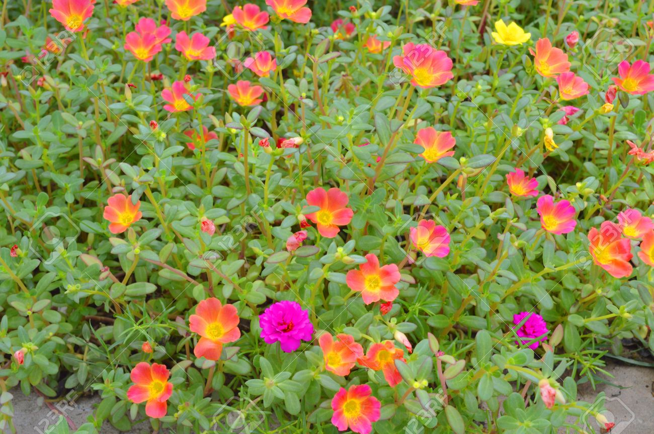 Purslane Flowers As Cover Crops In Tropical Garden Of Thailand