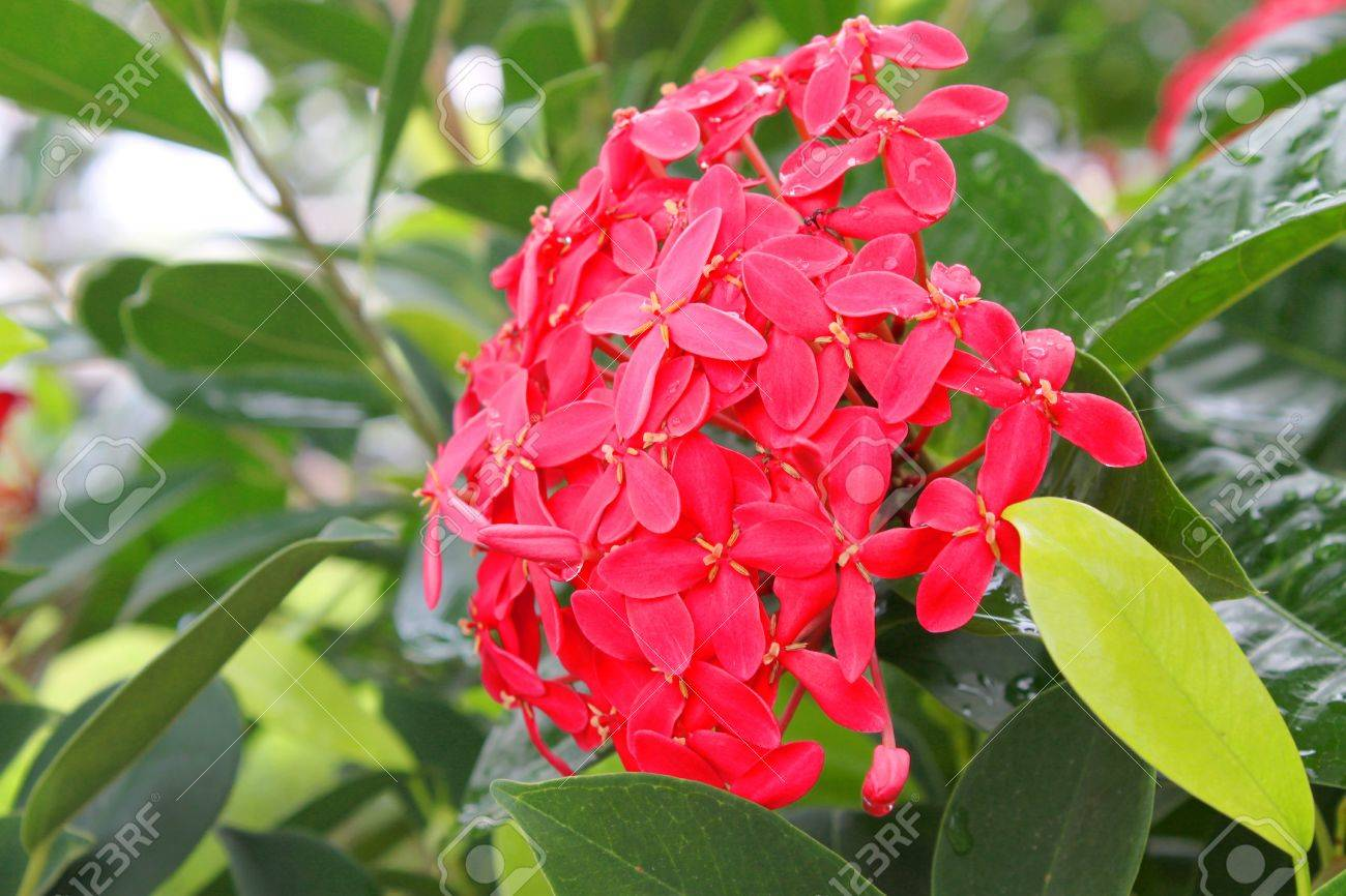 ixora flowering plants decoration in tropical garden stock photo
