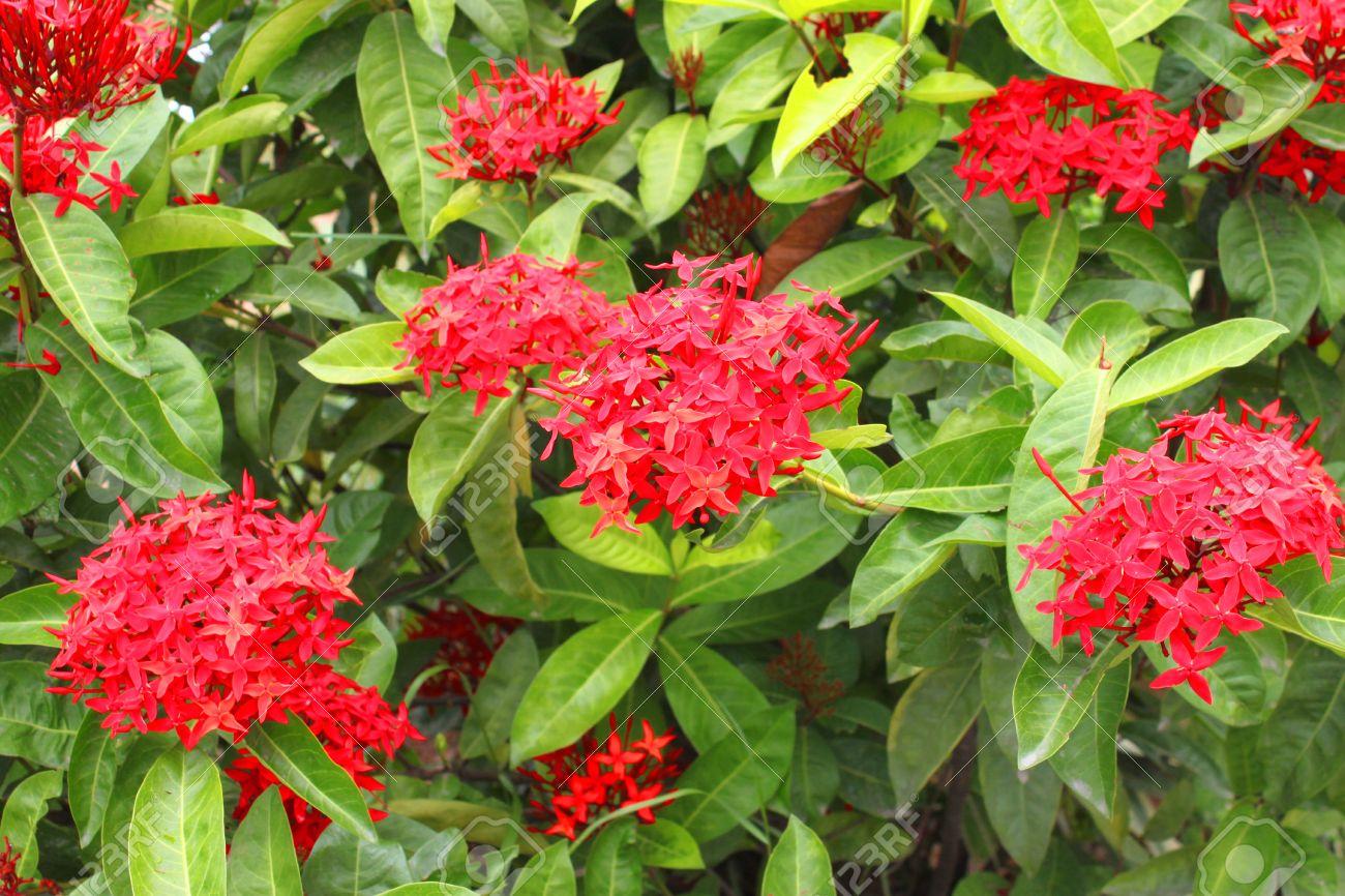 Ixora Flowering Plants In Tropical Garden Stock Photo Picture And