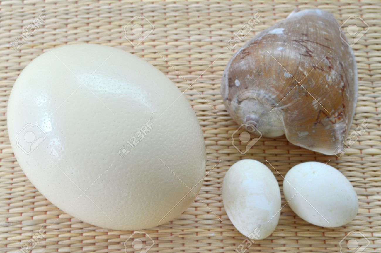 Sea Shell, Ostrich Egg And Duck Eggs To Compare The Size Stock ...