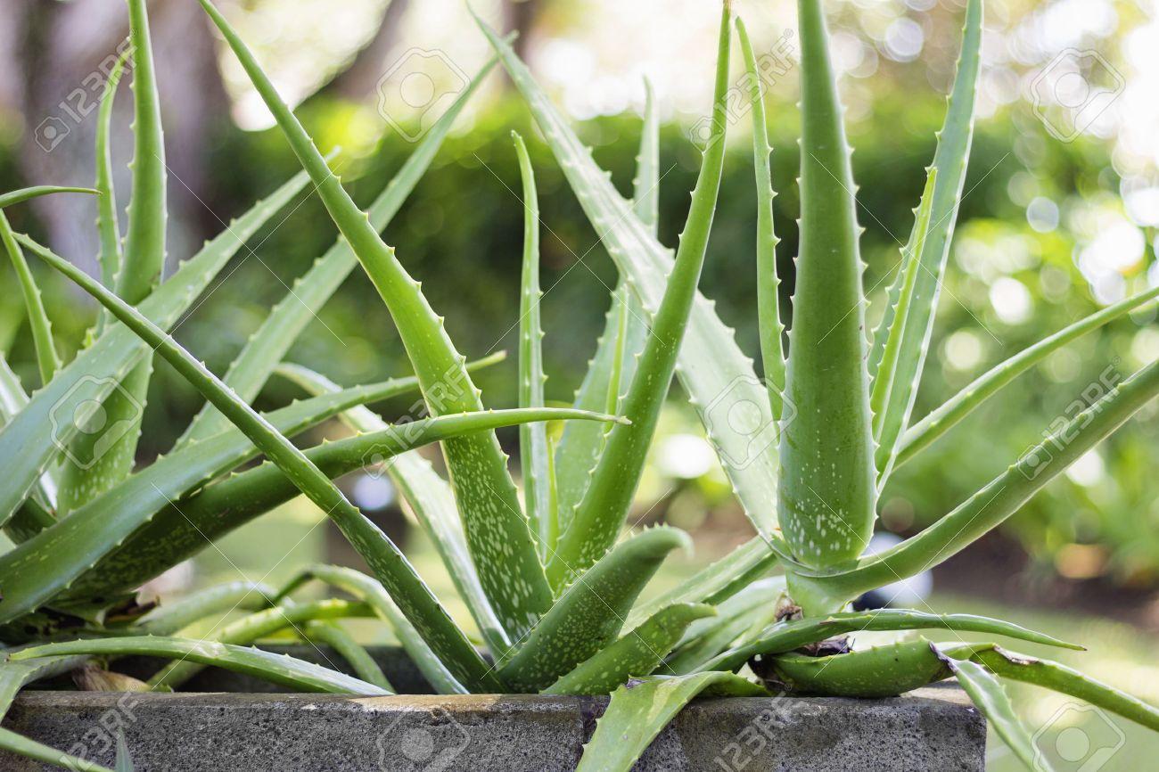 Close up Aloe Vera Plant, outdoor pots - 43592230