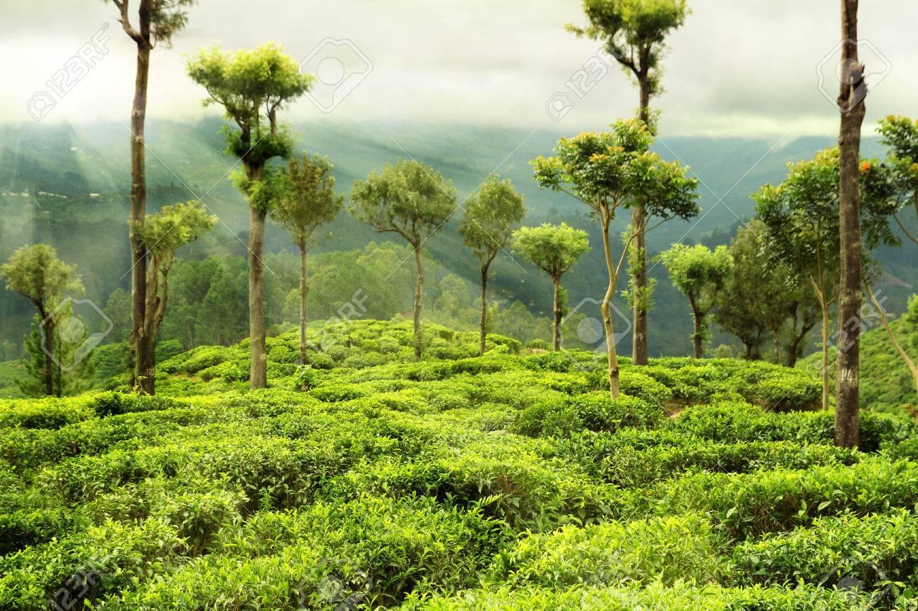 tea garden with trees - 26883840
