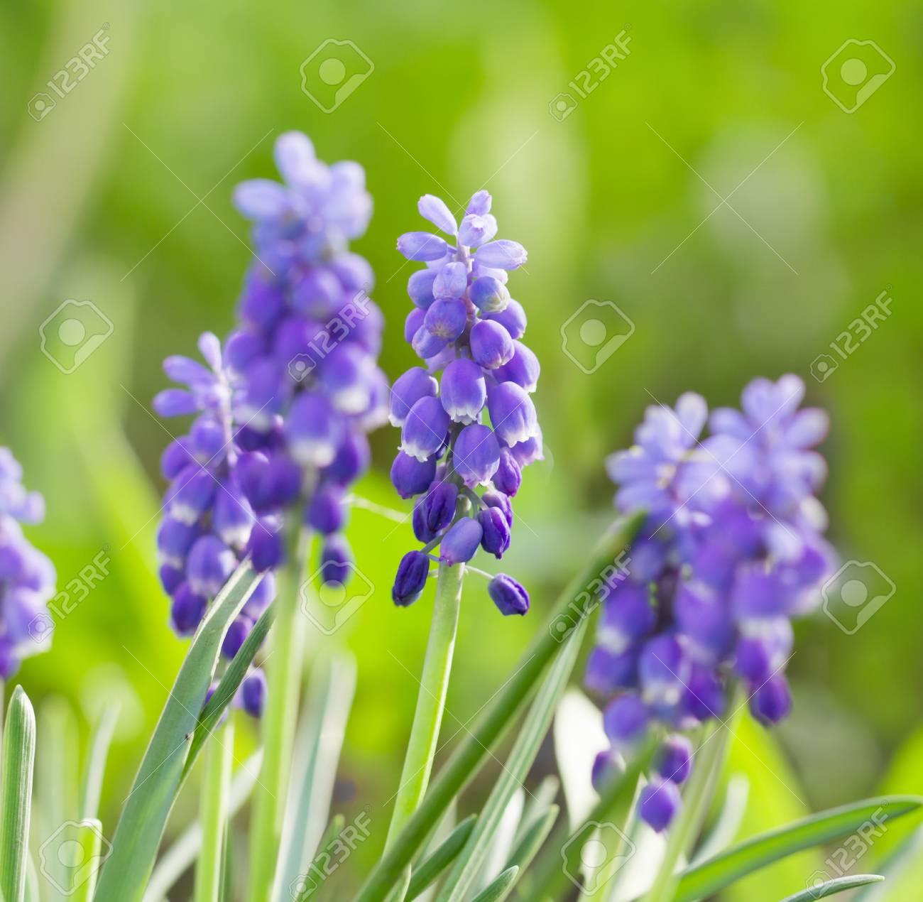 bluebells closeup - 79638009