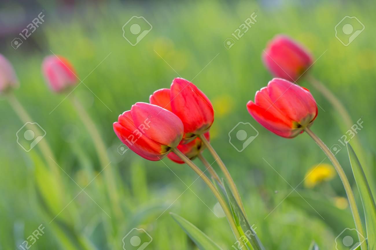 red tulips in garden - 79638058