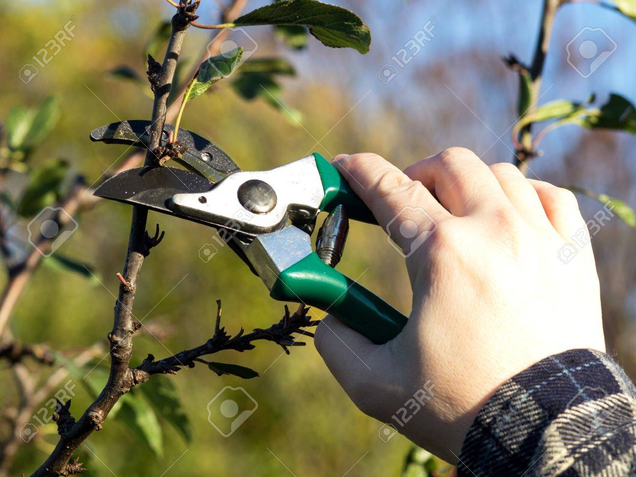 pruning apple tree in the spring Stock Photo - 16840533