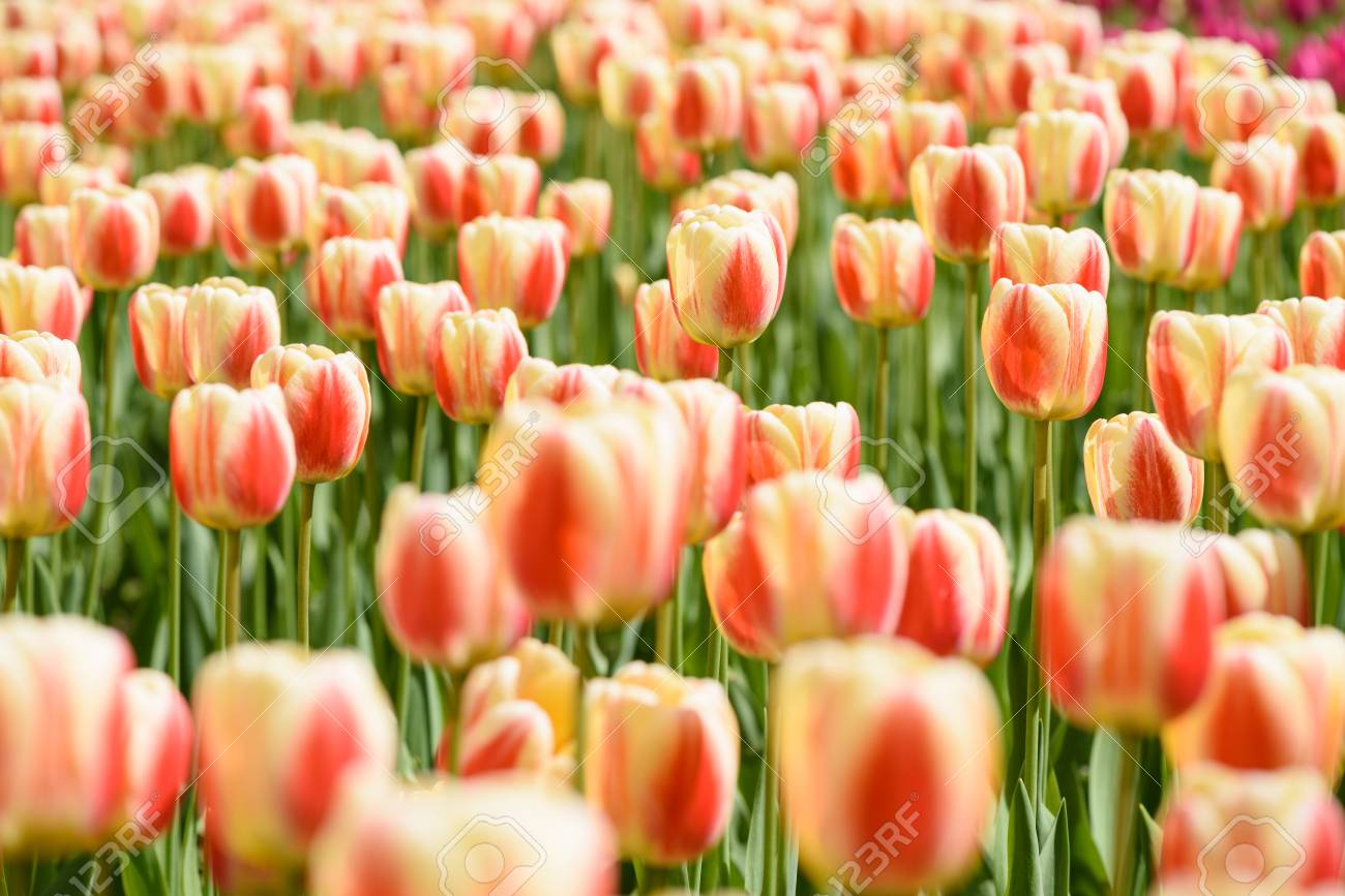 Tulips Flowers Field On Sunny Spring Day Stock Photo Picture And