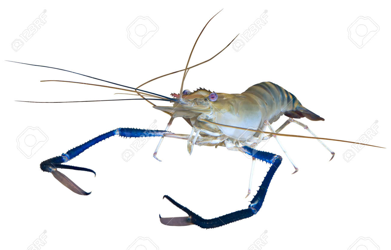 Giant river prawn (Macrobrachium rosenbergii) isolated on white