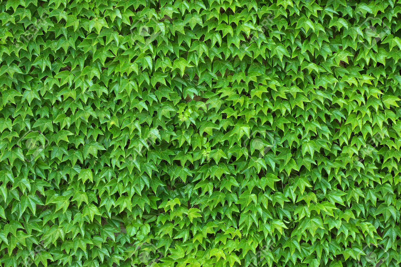 Dense ivy on wall fresh green leaves texture background Stock Photo - 4959506