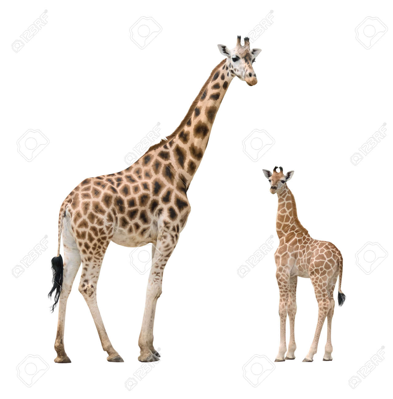 Giraffe Mother And Baby Isolated On White Background Stock Photo