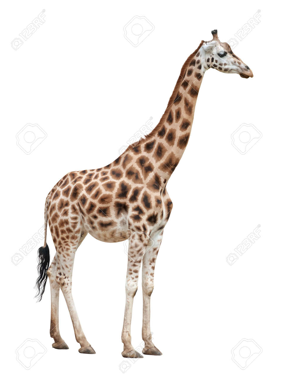 giraffe female isolated on white background stock photo picture