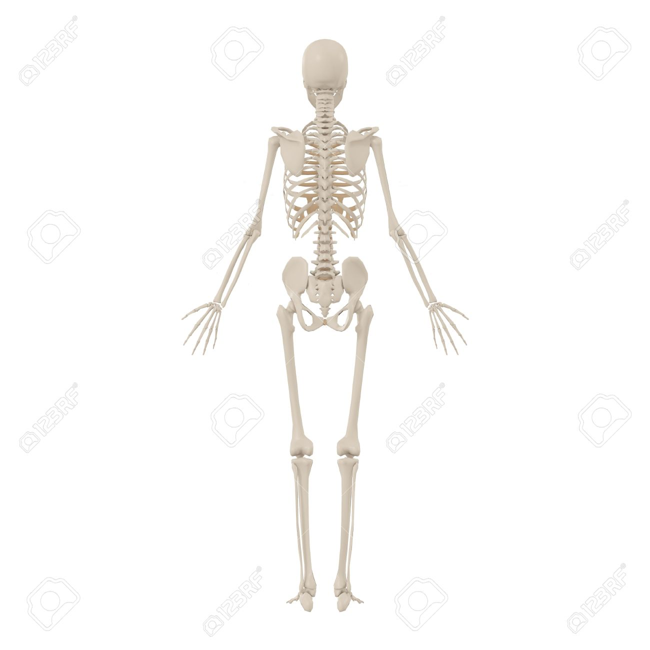 Human Skeleton Back Stock Photo, Picture And Royalty Free Image ...