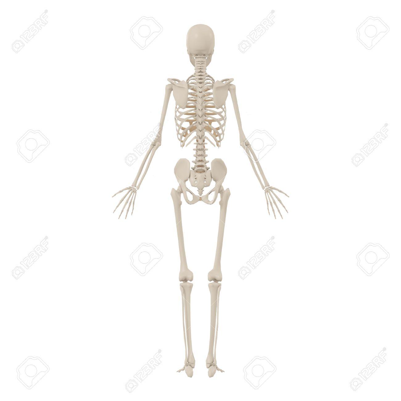 Berühmt Menschliches Skelett Foto Galerie - Anatomie Ideen - finotti ...