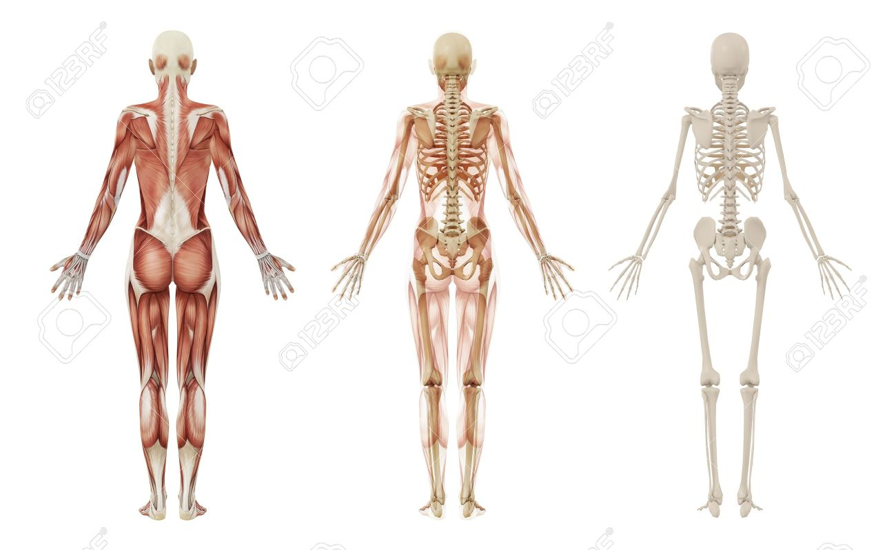 Mujer Músculos Y El Esqueleto Fotos, Retratos, Imágenes Y Fotografía ...