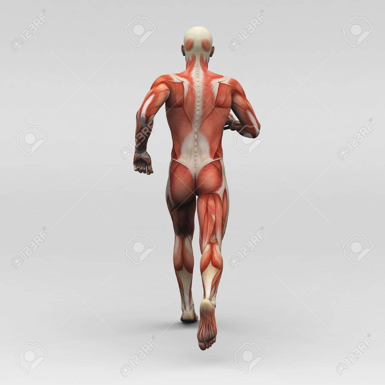 Anatomía Masculina Humana Y Músculos Fotos, Retratos, Imágenes Y ...