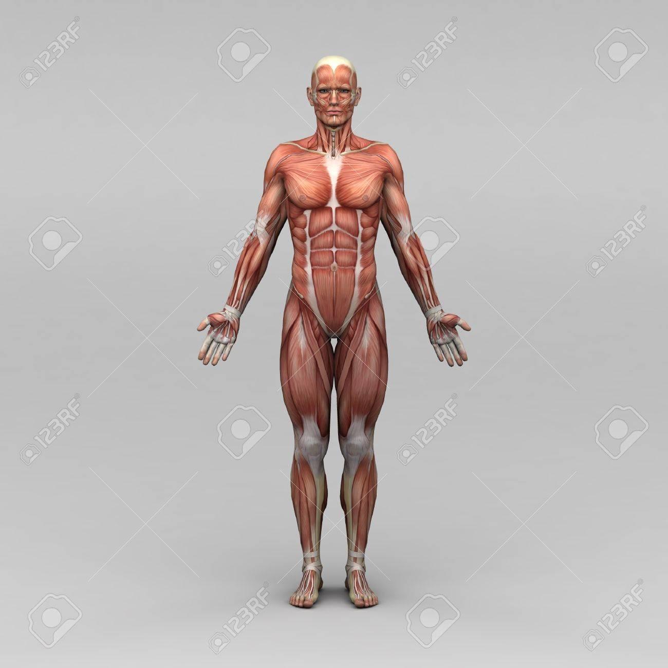 Groß Anatomie Muskeln Arm Bilder - Anatomie Ideen - finotti.info