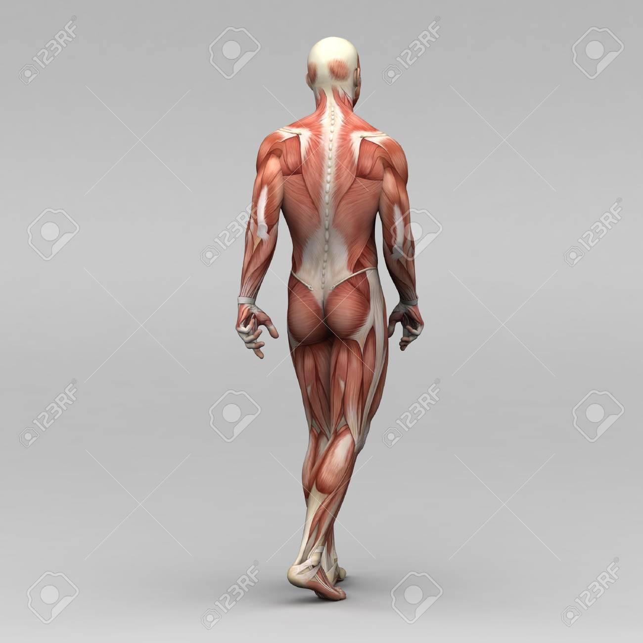 Ungewöhnlich Anatomie Muskeln Zurück Ideen - Anatomie Ideen ...