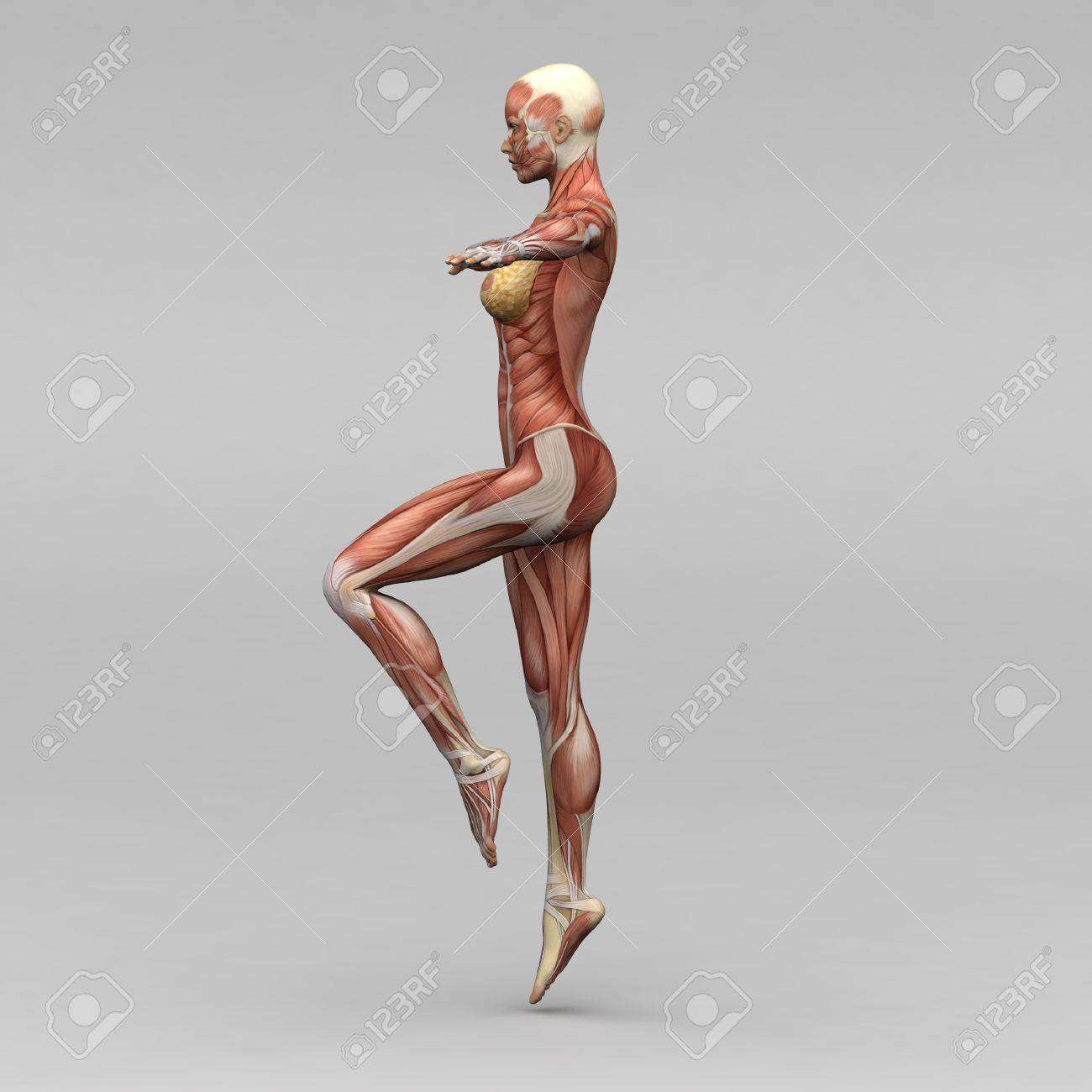 Female Human Anatomy And Muscles Stock Photo, Picture And Royalty ...
