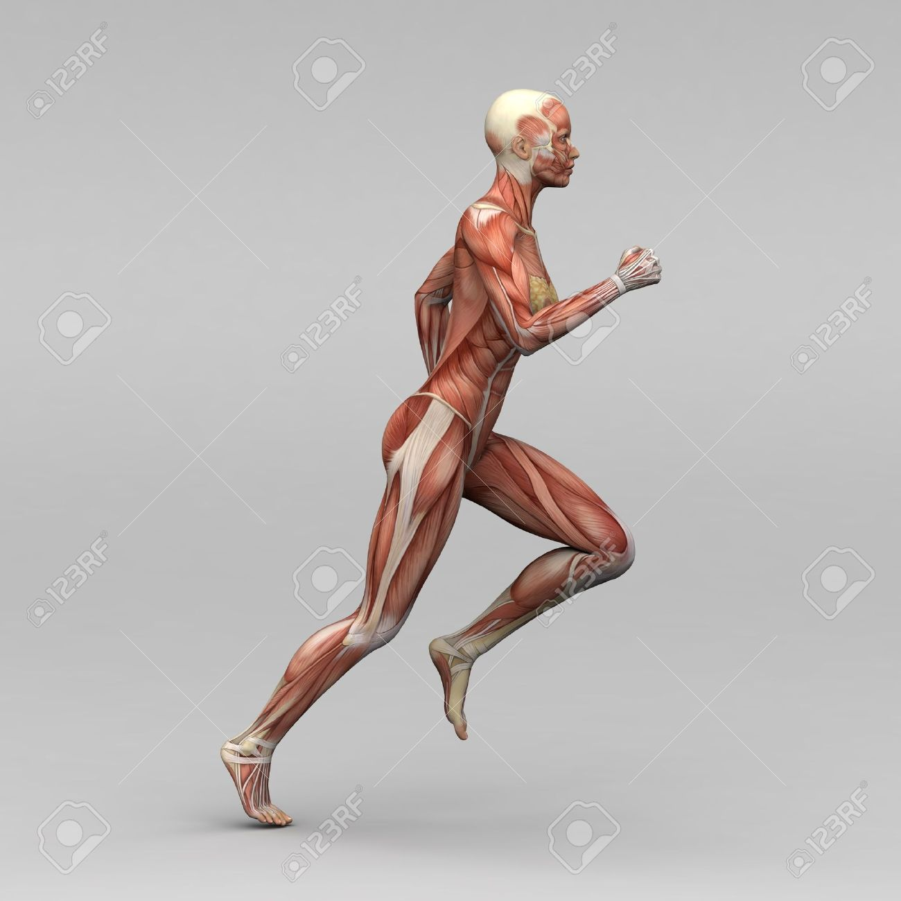 Female Human Anatomy And Muscles Stock Photo Picture And Royalty