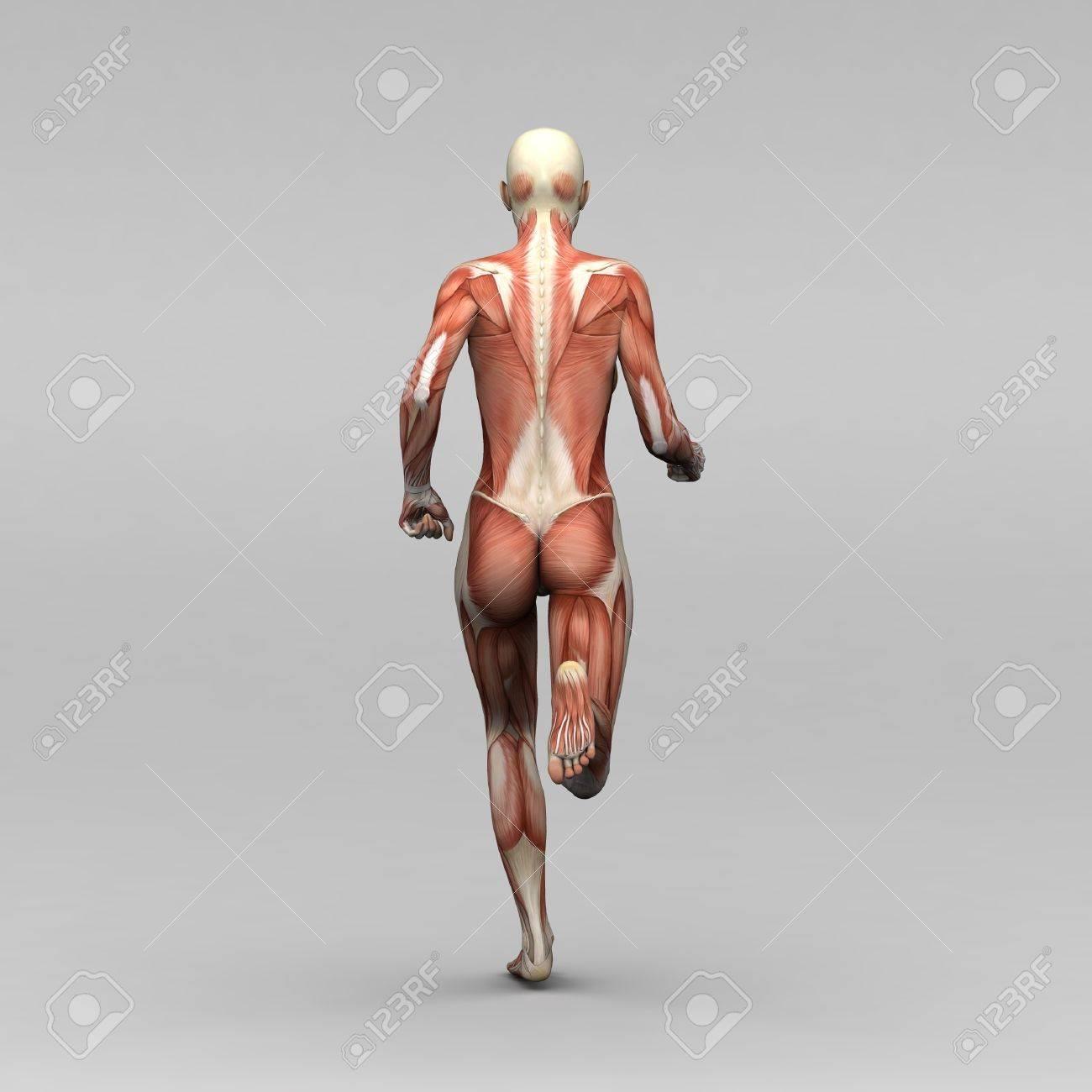 Weibliche Menschliche Anatomie Und Muskeln Lizenzfreie Fotos, Bilder ...