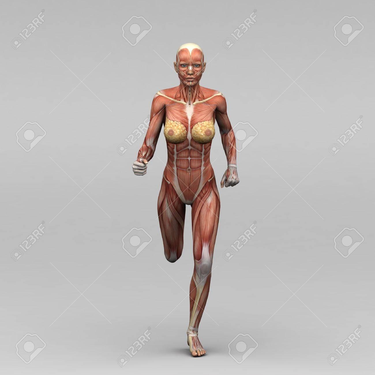 Dorable Músculos Anatomía Femenina Regalo - Imágenes de Anatomía ...