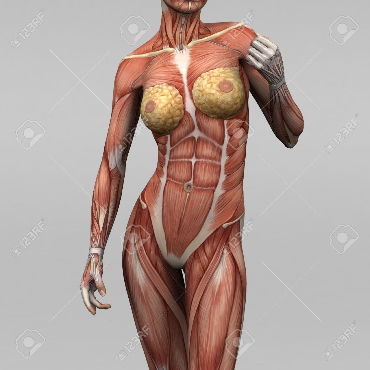 female human anatomy and muscles stock photo, picture and royalty, Muscles