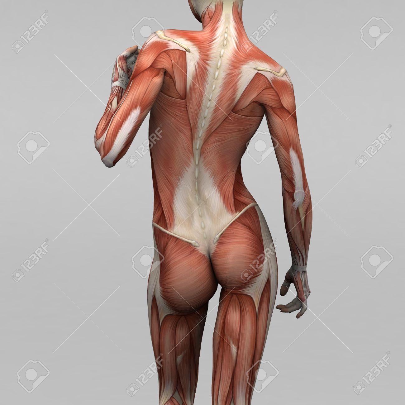 Mujer Anatomía Humana Y Los Músculos Fotos, Retratos, Imágenes Y ...
