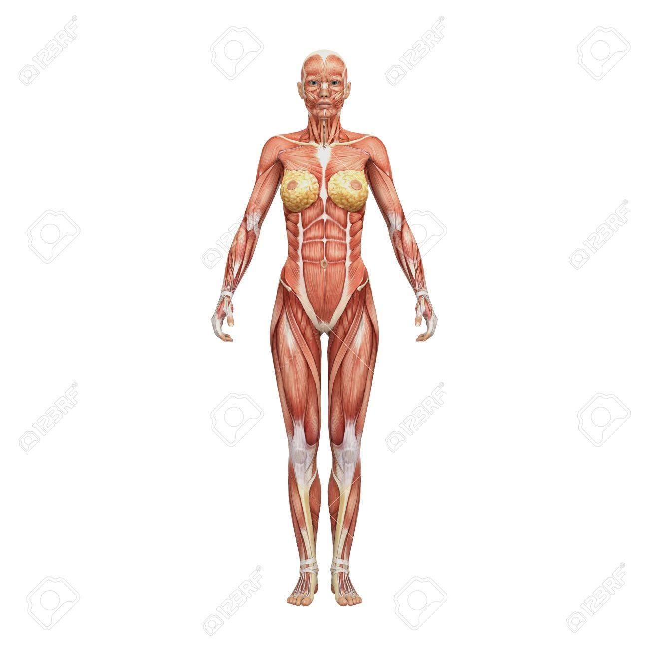 Niedlich Weibliche Anatomie Ideen - Menschliche Anatomie Bilder ...