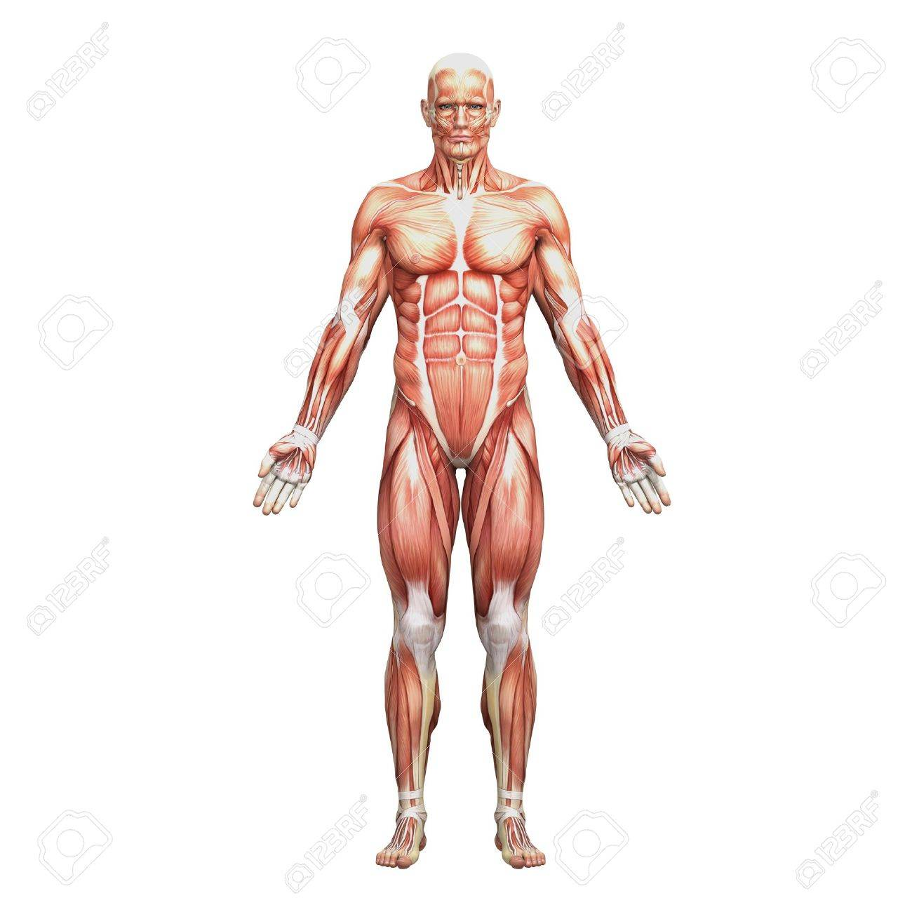 Male Anatomy And Muscles Stock Photo, Picture And Royalty Free Image ...