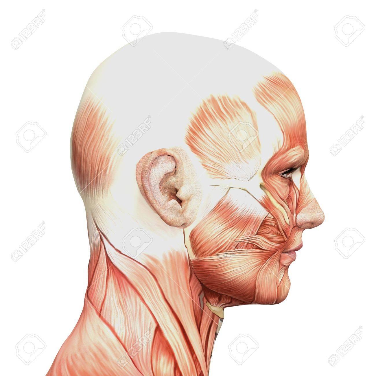 Männliche Anatomie Und Muskeln Lizenzfreie Fotos, Bilder Und Stock ...