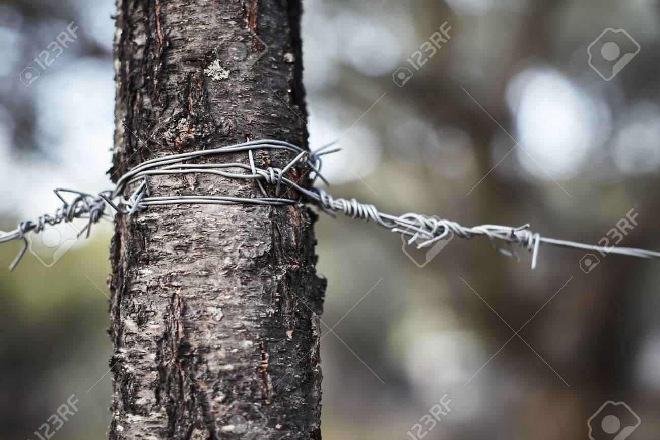 Barbed Wire Wrapped Around Tree Trunk Stock Photo, Picture And ...