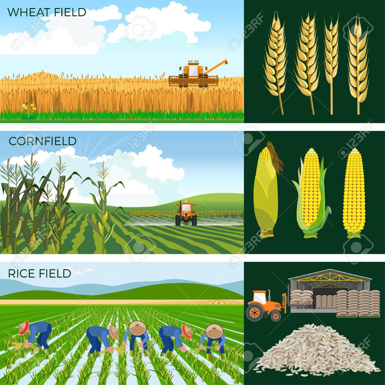 Set of agricultural fields- wheat, maize, rice. Vector illustrations. - 79939131