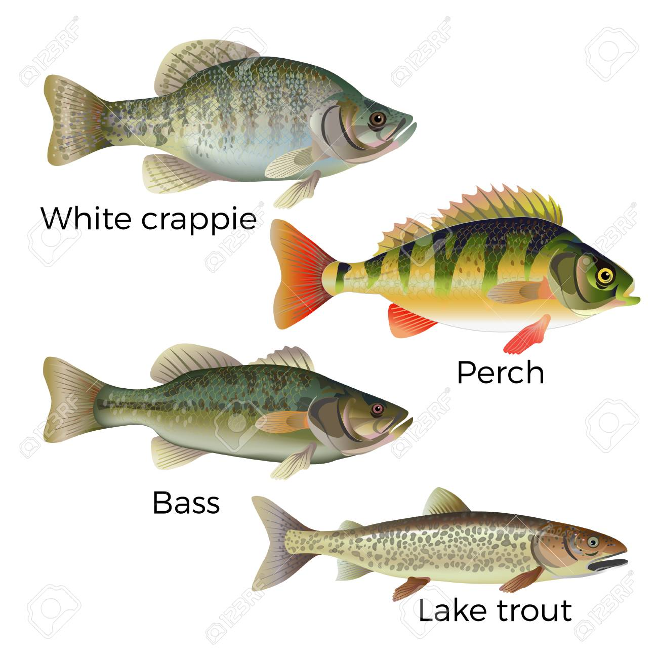 Freshwater fish set - white crappie, perch, bass and lake trout