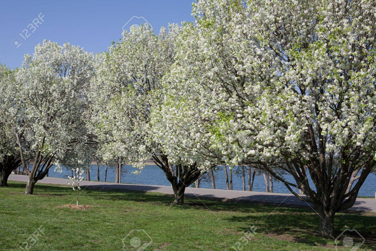 White Flower Trees In Park With Green Grass And Lake In Background