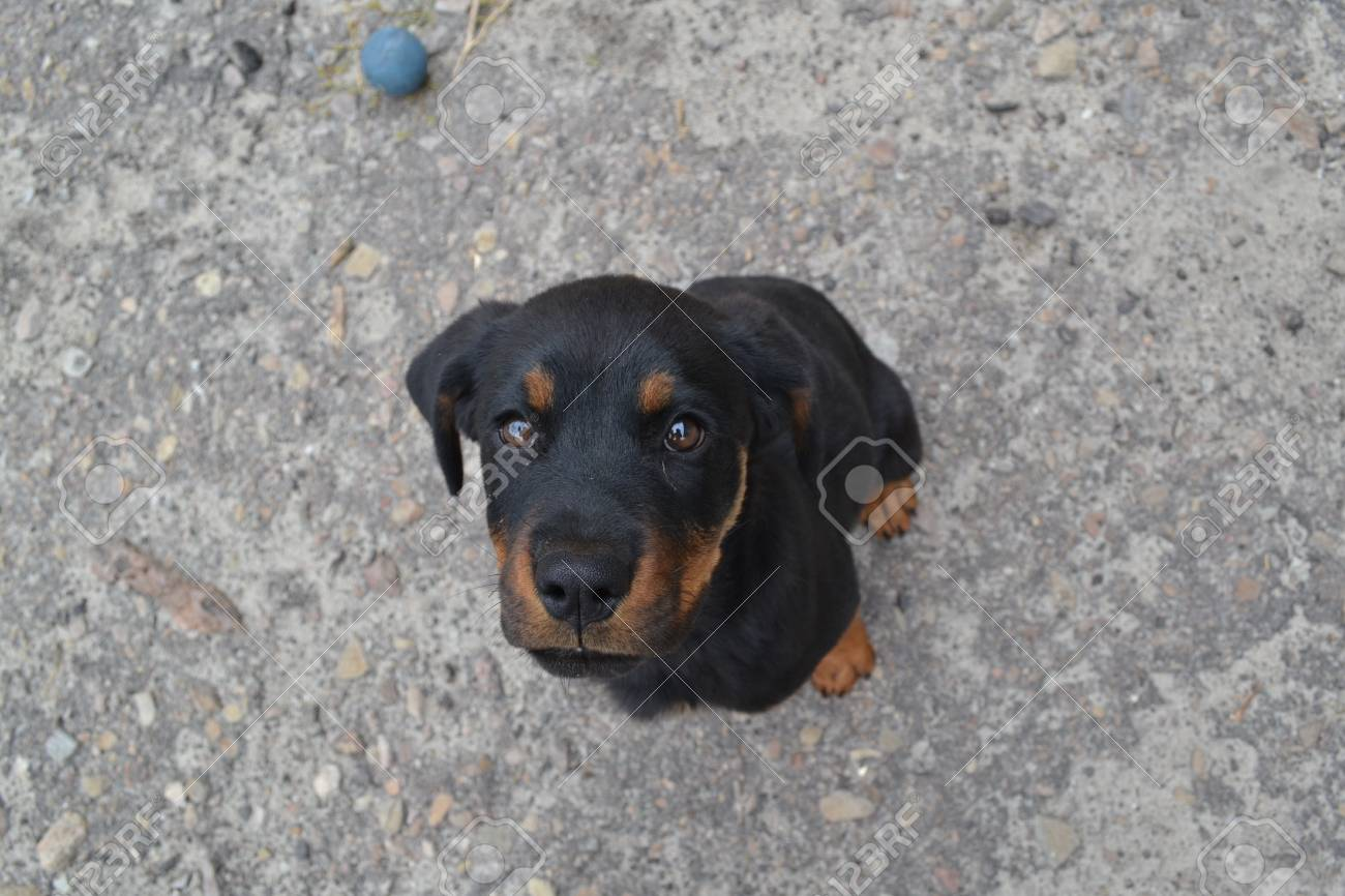 Cute Rottweiler Puppy With Kind Of Eyes Looking Straight Into